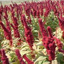 Load image into Gallery viewer, Organic Greens, Red Amaranth