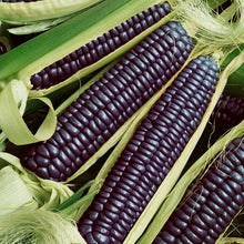 Load image into Gallery viewer, Organic Corn, Hopi Blue Dent
