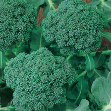 Load image into Gallery viewer, Organic Broccoli, Calabrese