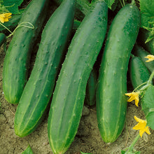 Load image into Gallery viewer, Organic Cucumber, Straight Eight
