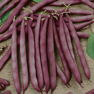 Organic Bean, Bush Red Swan-harvest