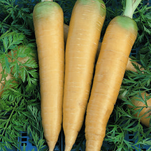 Organic Carrot, Solar Yellow