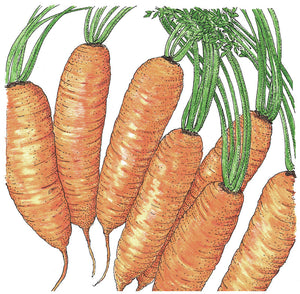 Organic Carrot, Little Finger