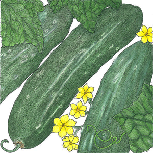 Organic Cucumber, Tendergreen