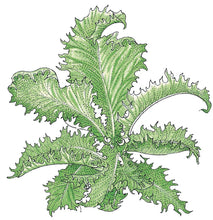 Load image into Gallery viewer, Organic Greens, Endive Batavian