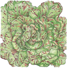 Load image into Gallery viewer, Organic Lettuce, Freckles-drawing