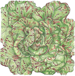 Organic Lettuce, Freckles-drawing