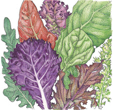 Load image into Gallery viewer, Organic Lettuce, Gourmet Mix-drawing