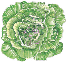 Load image into Gallery viewer, Organic Lettuce, Merveille des 4 Saisons-drawing
