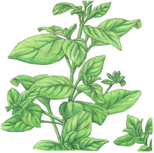 Load image into Gallery viewer, Organic Marjoram-drawing