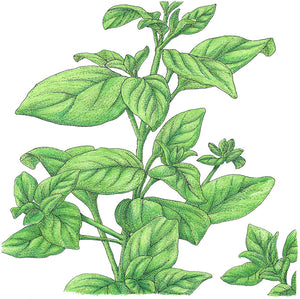 Organic Marjoram-drawing