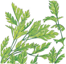 Load image into Gallery viewer, Organic Parsley, Italian-drawing