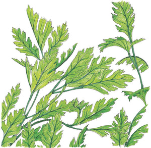 Organic Parsley, Italian-drawing