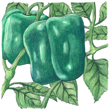 Load image into Gallery viewer, Organic Pepper, Sweet Cal Wonder-drawing