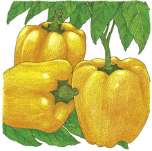 Load image into Gallery viewer, Organic Pepper, Sweet Golden Cal Wonder-drawing