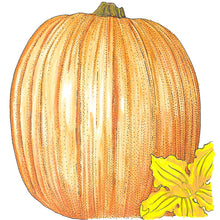 Load image into Gallery viewer, Organic Pumpkin, Howden-drawing