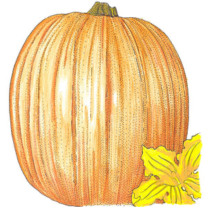 Organic Pumpkin, Howden-drawing
