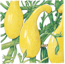Load image into Gallery viewer, Organic Squash, Summer Early Crookneck-drawing