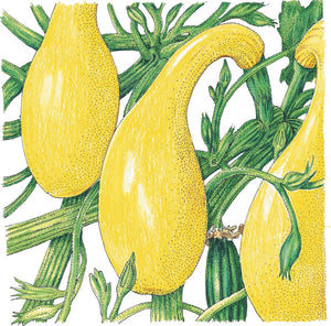 Organic Squash, Summer Early Crookneck-drawing