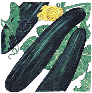 Organic Squash, Summer Black Beauty