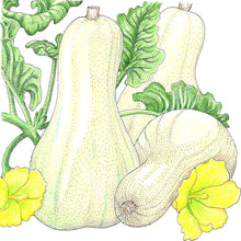 Load image into Gallery viewer, Organic Squash, Winter Butternut-drawing