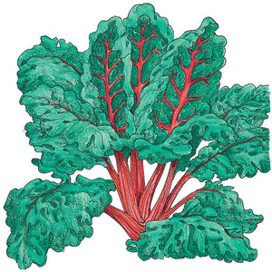 Organic Chard, Red Ruby-drawing