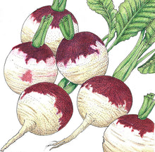 Load image into Gallery viewer, Organic Turnip, Purple Top White Globe-drawing