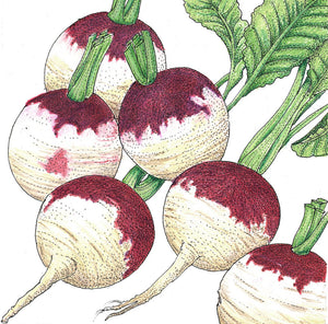 Organic Turnip, Purple Top White Globe
