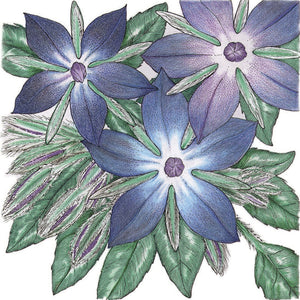 Organic Borage-drawing