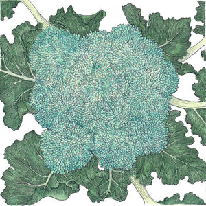 Organic Broccoli, Calabrese-drawing