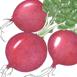 Organic Radish, German Giant