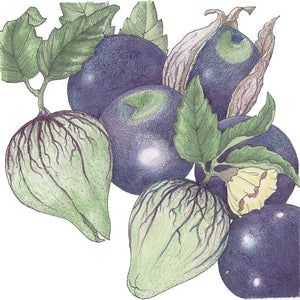 Organic Tomatillo, Purple