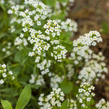 Load image into Gallery viewer, Alyssum, Carpet of Snow (1/4 lb)