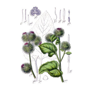 Strictly Medicinal Organic Burdock, Gobo