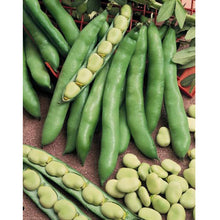 Load image into Gallery viewer, Organic Bean, Fava Broad Windsor (1/2 lb)