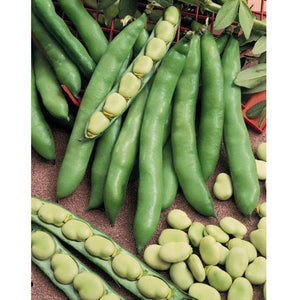 Organic Bean, Fava Broad Windsor
