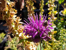 Load image into Gallery viewer, Bee Balm (pack)