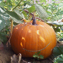 Load image into Gallery viewer, Organic Pumpkin, Big Max-in garden