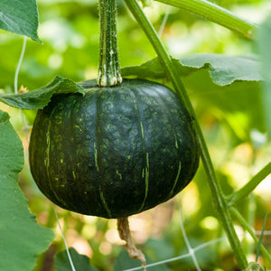 Organic Squash, Winter Buttercup (1/4 lb)