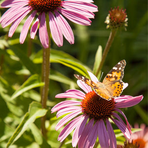 Butterfly Garden Wildflower Mix (pack)