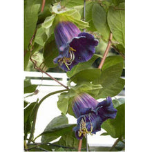 Load image into Gallery viewer, Renee's Garden Cathedral Bells Flowering Vine (Heirloom)