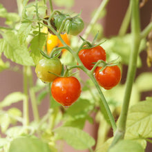 Load image into Gallery viewer, Organic Cherry Tomato, Chadwick