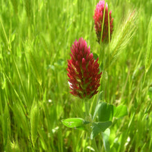 Load image into Gallery viewer, Organic Crimson Clover - Raw  Seed (Lb)