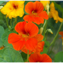Load image into Gallery viewer, Organic Nasturtium, Dwarf Jewel