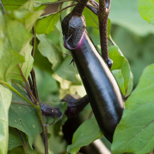 Organic Eggplant, Purple Long (1 oz)