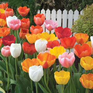"""Island in the Sun"" Tulip Bulb Mix (Pack of 15)"