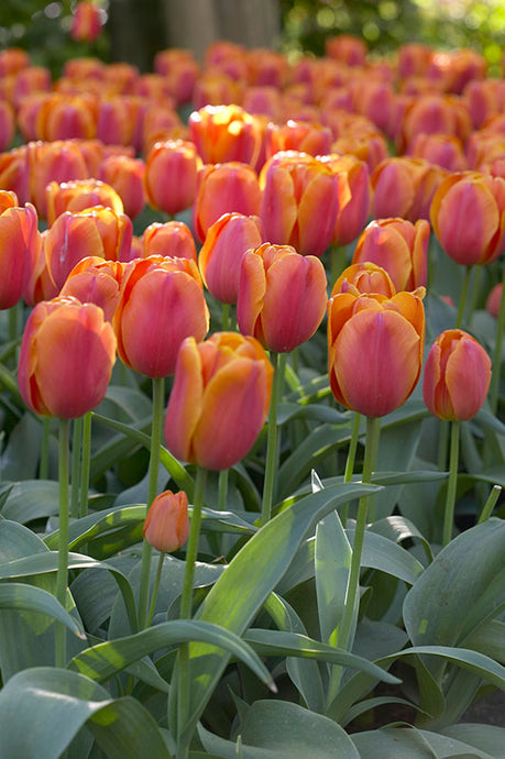 Tulip Christmas Orange (10/pk)