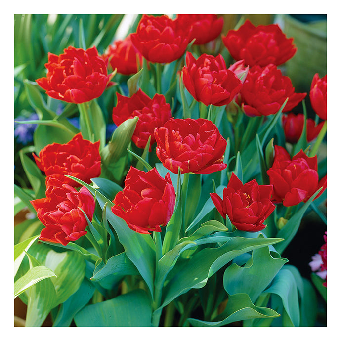 Tulip Abba (Pack of 10)