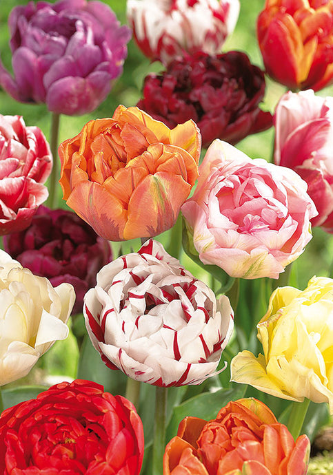 Tulip Double Late Mix (10/pk)