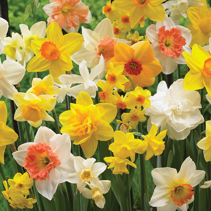 Daffodil All Sorts Mix (20/pk)